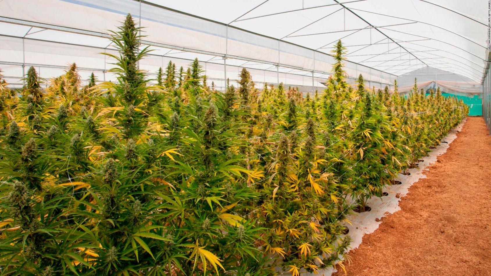 Banco de cultivo de cannabis en Salta: el proyecto aún es estudiado por concejales