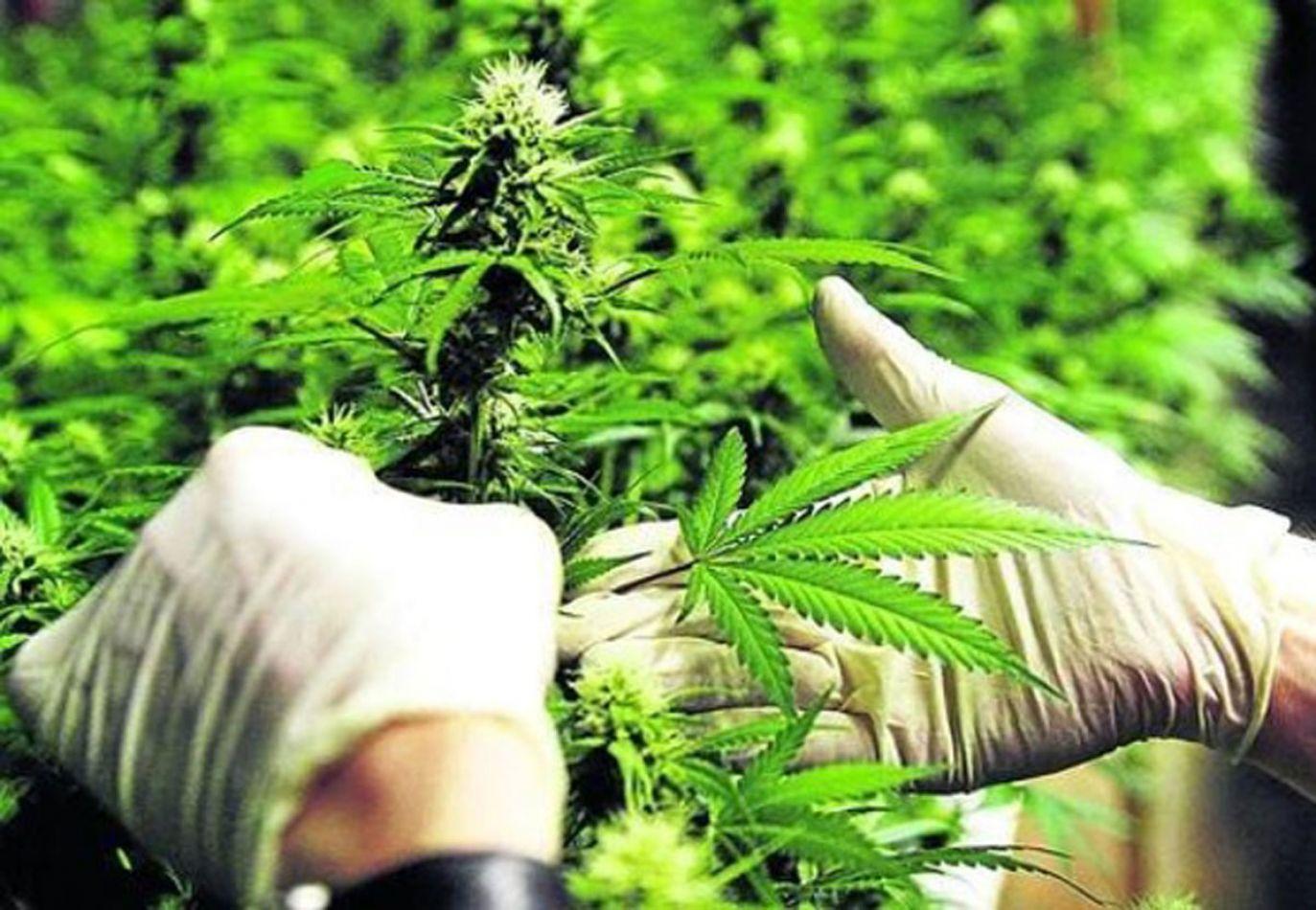 Salta buscará adherir a la ley de autocultivo de cannabis para uso medicinal