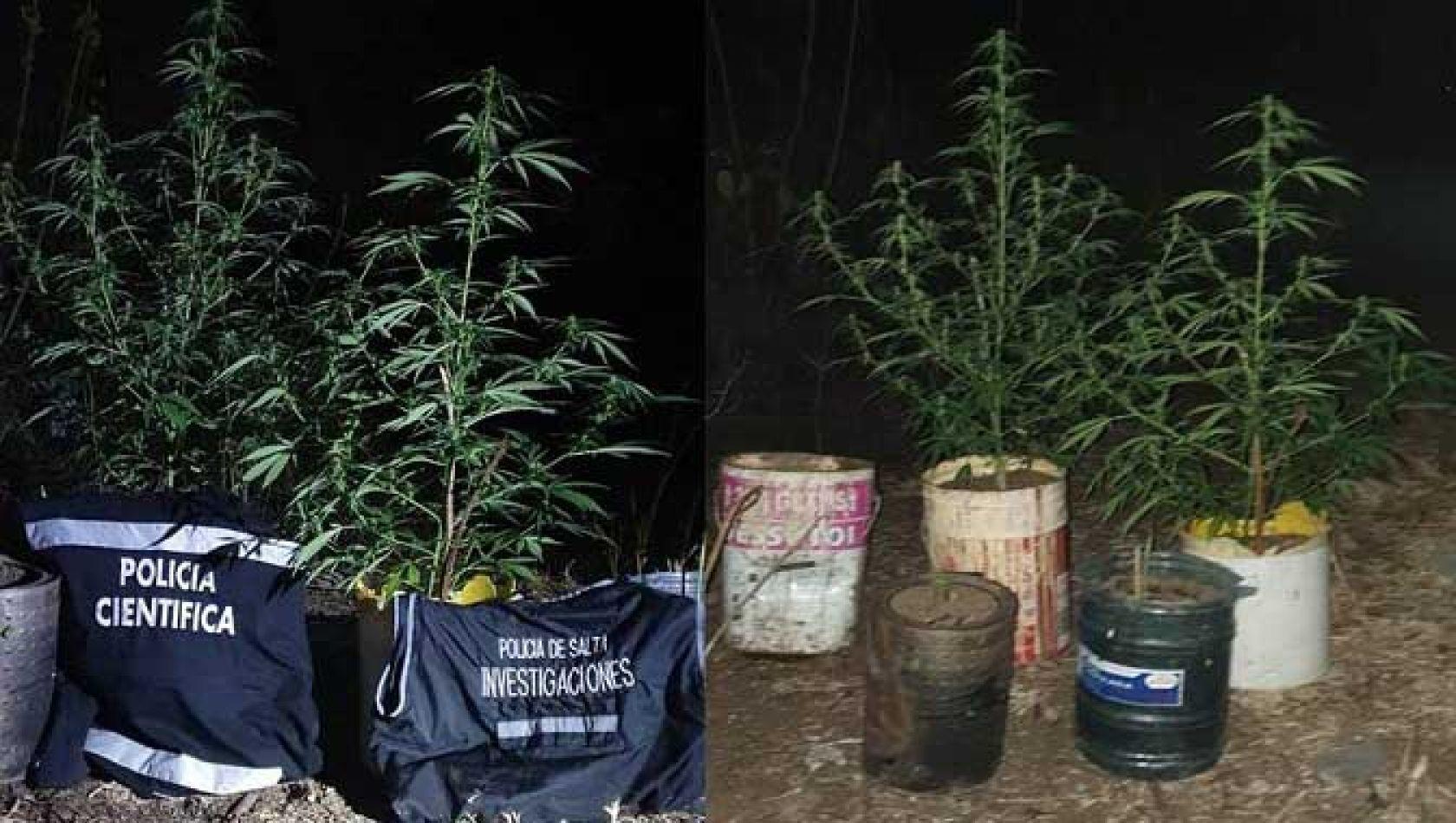 Incautan más de 4 mil dosis de marihuana y plantines