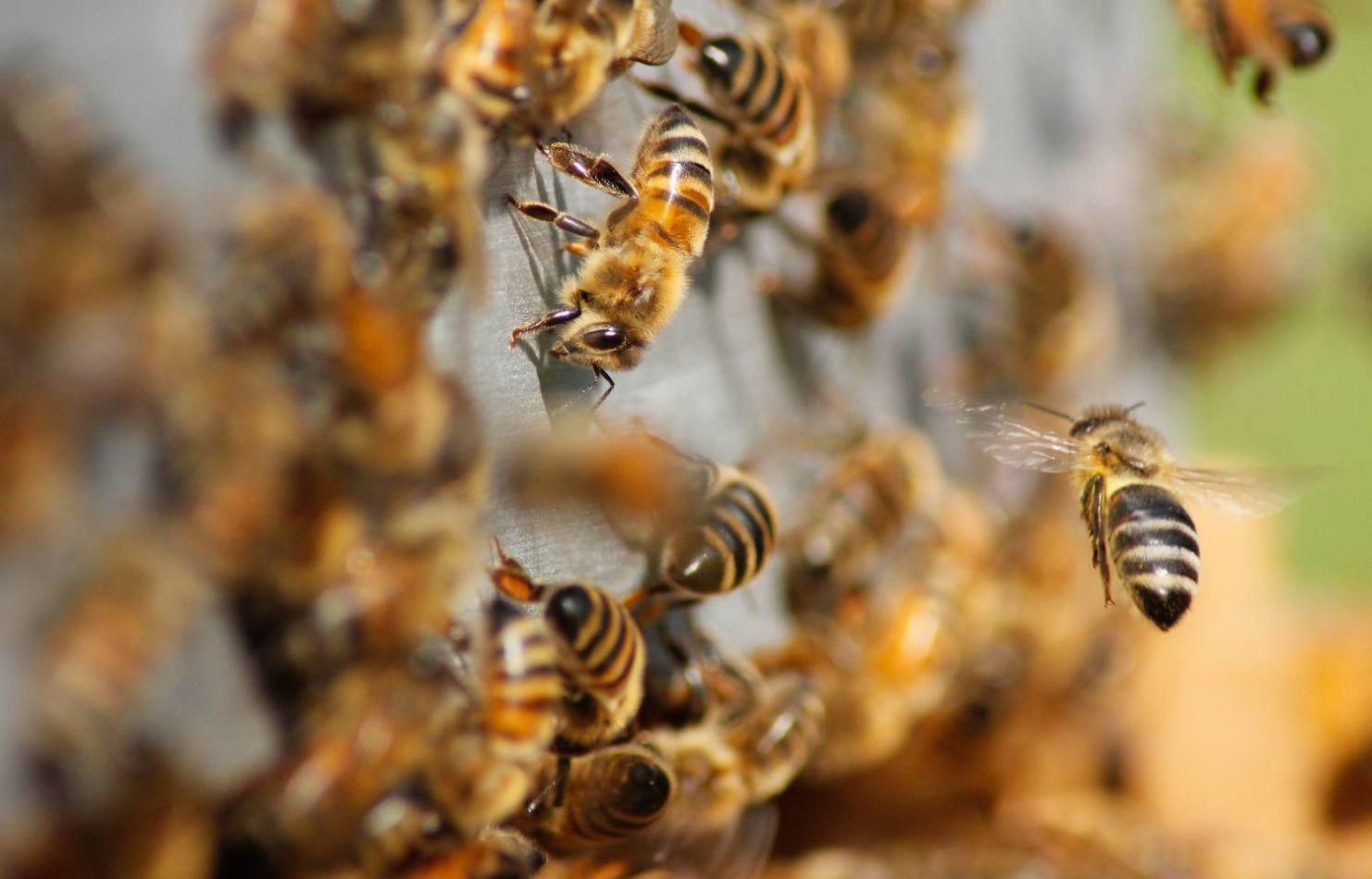 Cordobés murió tras ser atacado por un enjambre de abejas